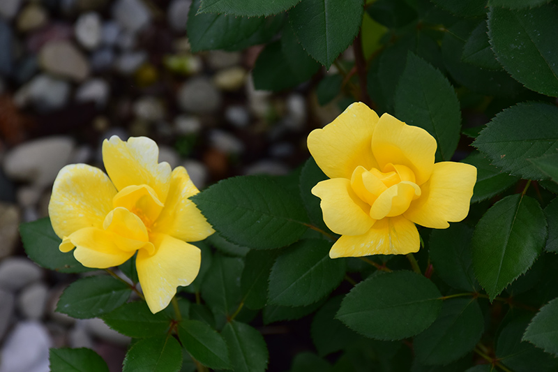Sunny Knock Out Rose (Rosa 'Radsunny') at Wolf Hill Home & Garden