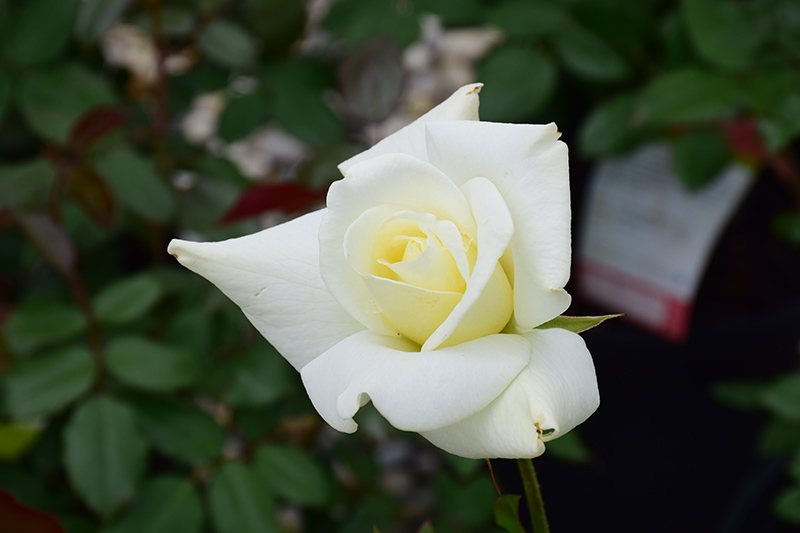John F. Kennedy Rose (Rosa 'JFK') at Wolf Hill Home & Garden