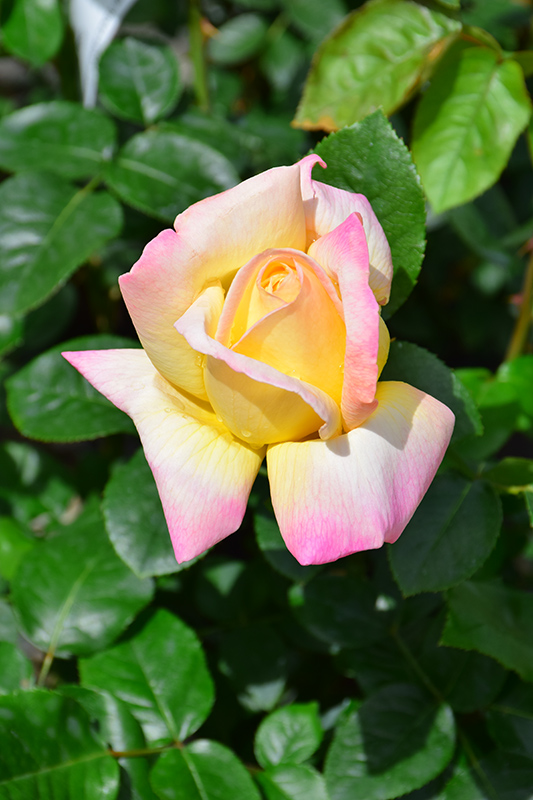 Peace Rose (Rosa 'Peace') at Wolf Hill Home & Garden
