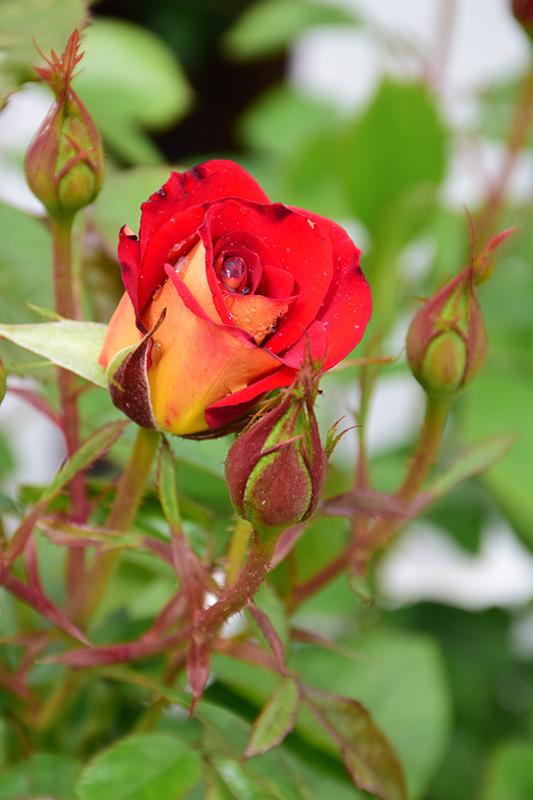 Ketchup And Mustard Rose (Rosa 'WEKzazette') at Wolf Hill Home & Garden
