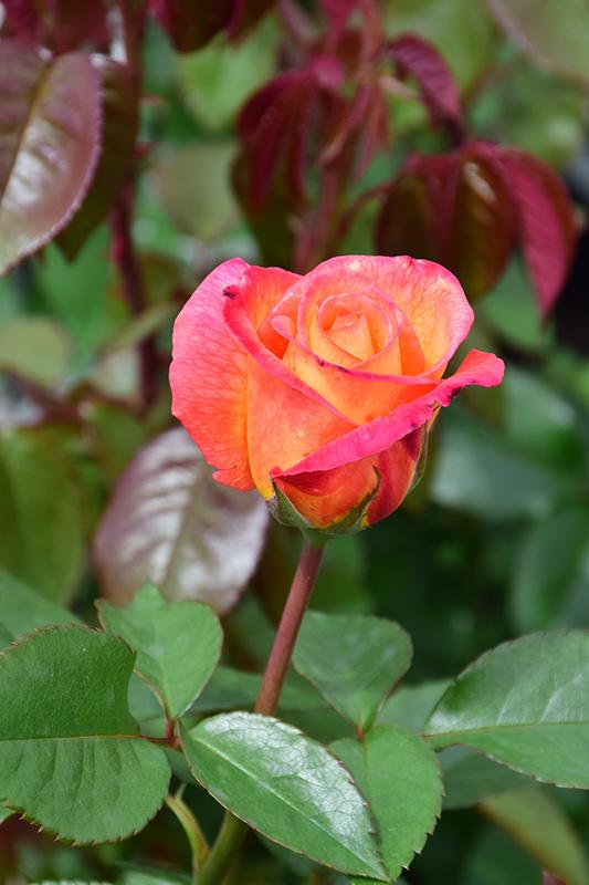 Sheila's Perfume Rose (Rosa 'Sheila's Perfume') at Wolf Hill Home & Garden