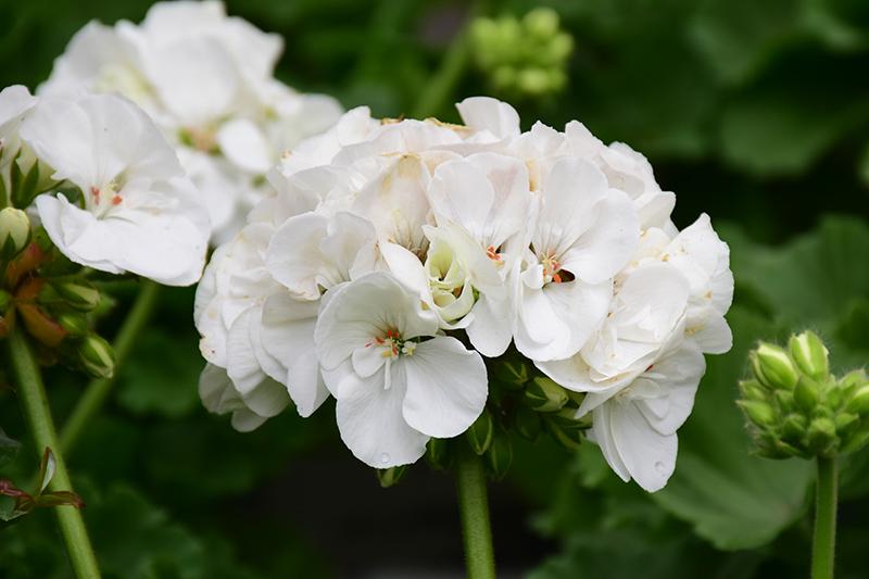Americana White Geranium (Pelargonium 'Americana White') at Wolf Hill Home & Garden
