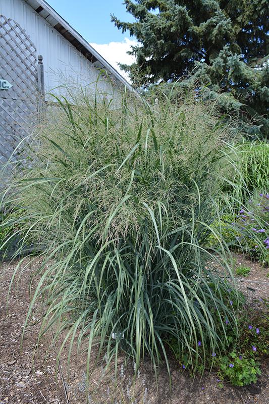 Northwind Switch Grass (Panicum virgatum 'Northwind') at Wolf Hill Home & Garden