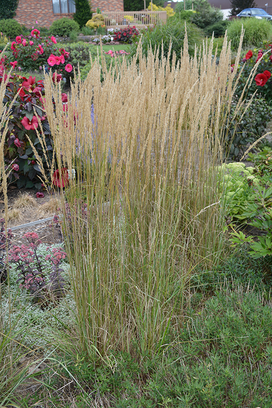 El Dorado Feather Reed Grass (Calamagrostis x acutiflora 'El Dorado') at Wolf Hill Home & Garden