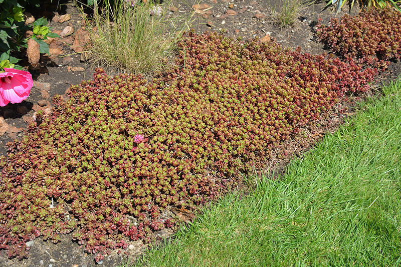 Fulda Glow Stonecrop (Sedum spurium 'Fuldaglut') at Wolf Hill Home & Garden