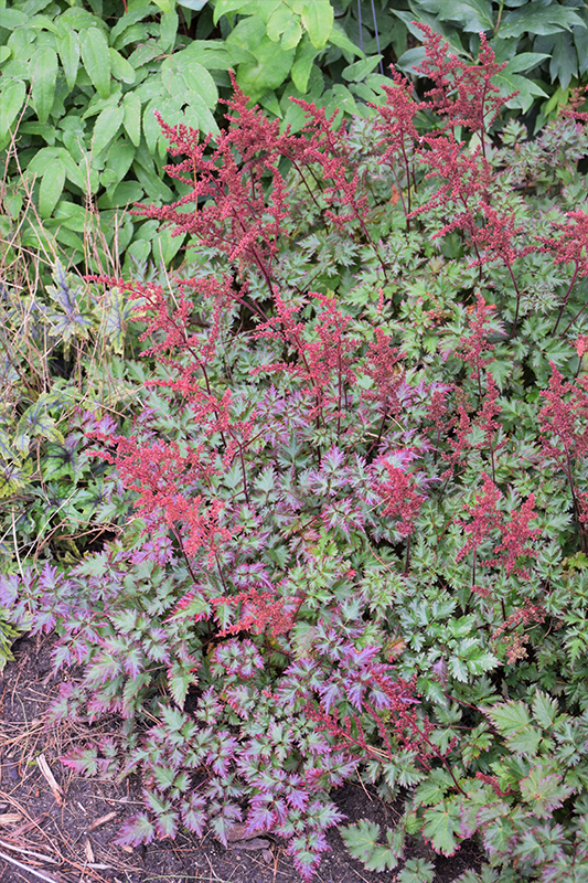 Delft Lace Astilbe (Astilbe 'Delft Lace') at Wolf Hill Home & Garden