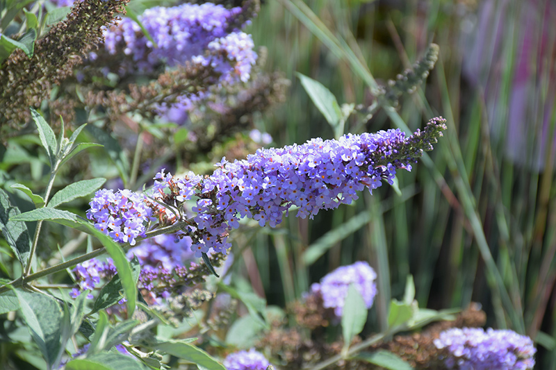 Glass Slippers Butterfly Bush (Buddleia 'Glass Slippers') at Wolf Hill Home & Garden