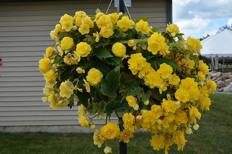 Nonstop Joy Yellow Begonia (Begonia 'Nonstop Joy Yellow') at Wolf Hill Home & Garden