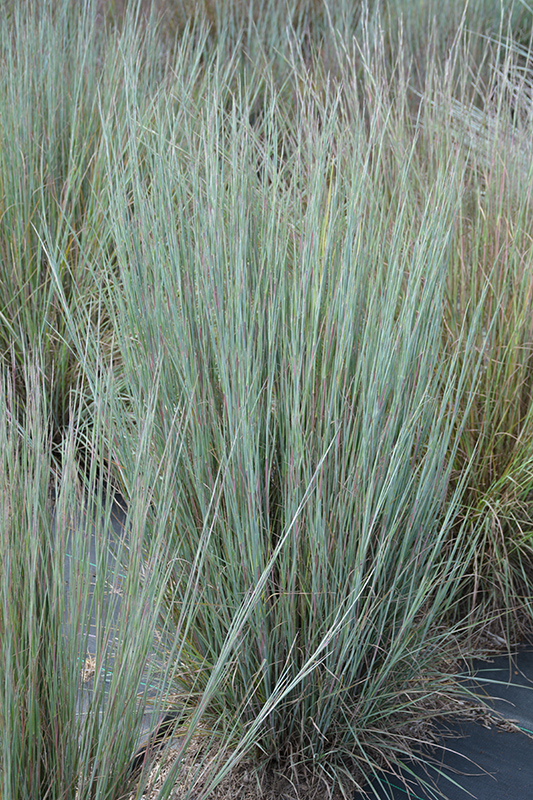 Prairie Blues Bluestem (Schizachyrium scoparium 'Prairie Blues') at Wolf Hill Home & Garden