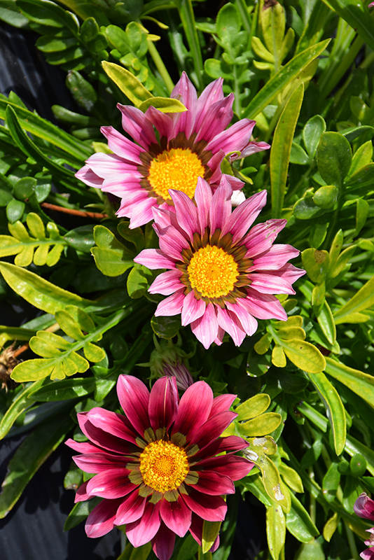 New Day Clear Pink Shades (Gazania 'New Day Pink Shades') at Wolf Hill Home & Garden