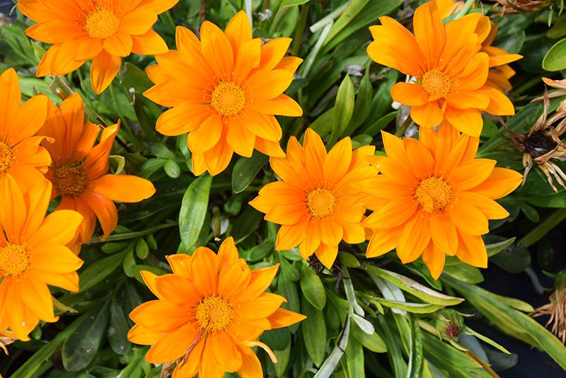 New Day Clear Orange Gazania (Gazania 'New Day Clear Orange') at Wolf Hill Home & Garden