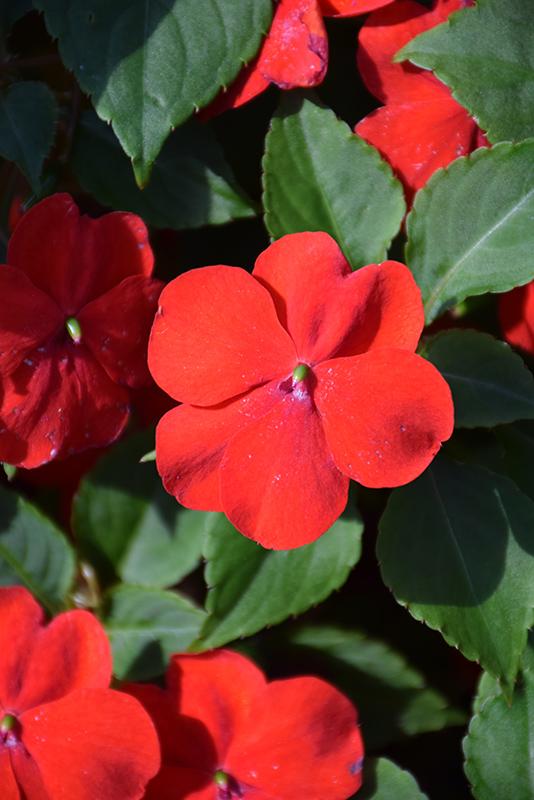 Beacon Bright Red Impatiens (Impatiens walleriana 'PAS1413665') at Wolf Hill Home & Garden