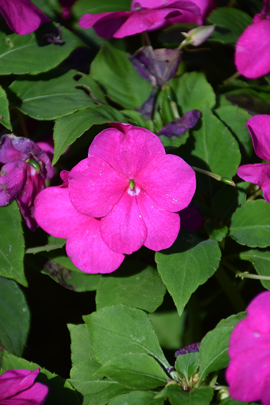Beacon Violet Shades Impatiens (Impatiens walleriana 'PAS1357834') at Wolf Hill Home & Garden