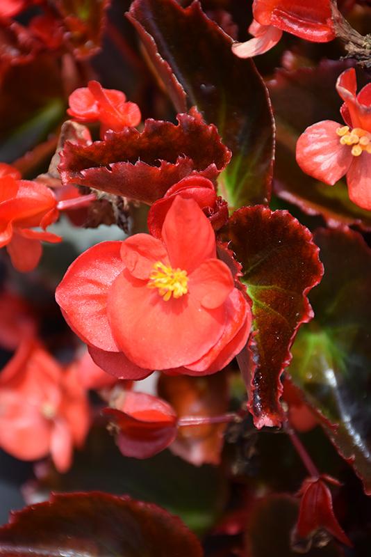 Senator IQ Scarlet (Begonia 'Senator IQ Scarlet') at Wolf Hill Home & Garden
